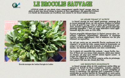 Le Brocolis Sauvage